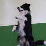 Lär hunden att sitta vackert - Vovvepärons webbkurser för hundägare