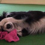Lär hunden att sova sött - Vovvepärons webbkurser för hundägare